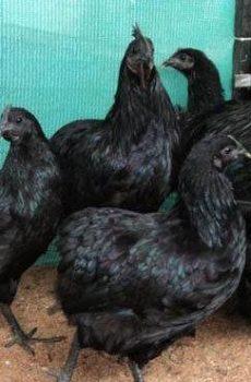 Pure Black Chickens